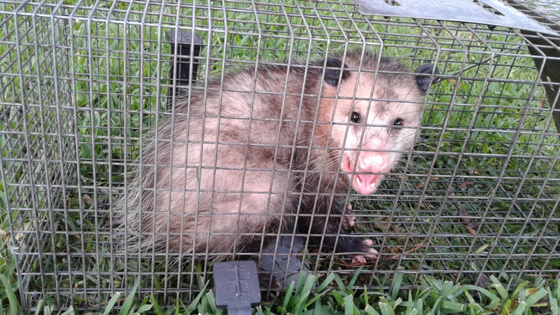 OPOSSUMS AND IMMIGRATION – BY AMAPOLA HANSBERGER – FOUNDER OF LEGAL IMMIGRANTS FOR AMERICA (LIFA)